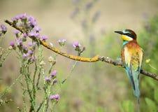 Comedor de abeja en la rama de árbol Foto de archivo libre de regalías