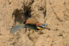 Comedor de abeja europeo en vuelo Foto de archivo libre de regalías