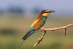 Comedor de abeja europeo un pájaro coloreado Fotografía de archivo