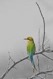 comedor de abeja Trago-atado - fondo salvaje africano del pájaro - colorante selectivo Fotografía de archivo libre de regalías