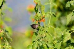 Comedor de abeja verde Fotos de archivo libres de regalías