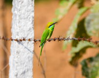 Comedor de abeja verde en una cerca del alambre de púas Imágenes de archivo libres de regalías