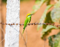 Comedor de abeja verde en una cerca del alambre de púas Imagen de archivo