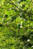 Comedor de abelha verde, visto no parque nacional do udawalawe, Sri Lanka fotos de stock royalty free