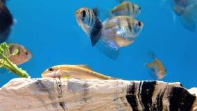Comedor de las algas y tetra pescados