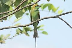Comedor verde del bea fotografía de archivo libre de regalías