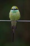 Comedor verde del bea Fotos de archivo