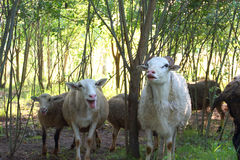 Comedy sheeps Royalty Free Stock Photo