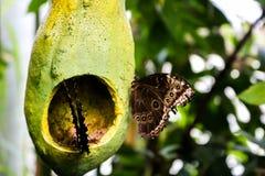 Comendo borboletas imagem de stock