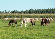 Comendo cavalos Fotos de Stock Royalty Free