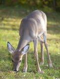 Comendo cervos Imagem de Stock Royalty Free