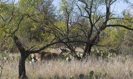 Comendo cervos de Texas Fotos de Stock
