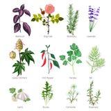 Comendo ervas e especiarias Alimento biológico saudável e vetor farmacêutico diferente da rosa da valeriana das ervas e das flore ilustração do vetor