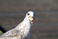 Comendo a gaivota de mar Imagem de Stock