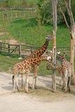 Comendo girafas em um jardim zoológico Fotografia de Stock Royalty Free