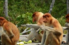 Comendo macacos de probóscide Imagens de Stock