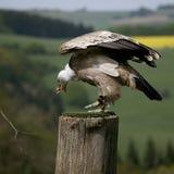 Comendo o abutre de Griffon Imagens de Stock