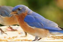 Comendo o azulão-americano Fotografia de Stock Royalty Free
