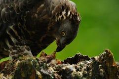 Comendo o Buzzard Foto de Stock Royalty Free