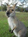 Comendo o canguru Fotografia de Stock