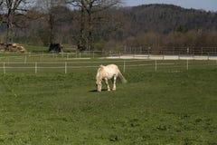 Comendo o cavalo Fotografia de Stock