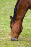 Comendo o cavalo Fotos de Stock Royalty Free