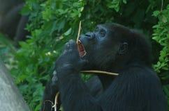 Comendo o chimpansee no jardim zoológico nos Países Baixos Fotos de Stock Royalty Free