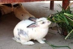 Comendo o coelho branco e cinzento Imagem de Stock Royalty Free