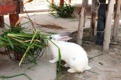 Comendo o coelho branco e cinzento Fotografia de Stock Royalty Free