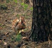 Comendo o esquilo Fotos de Stock