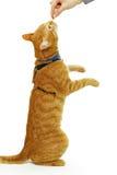 Comendo o gato Imagens de Stock Royalty Free