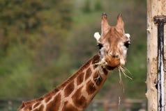 Comendo o girafa em um jardim zoológico Fotos de Stock Royalty Free