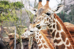 Comendo o giraffe Fotos de Stock Royalty Free