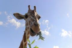 Comendo o giraffe Imagem de Stock