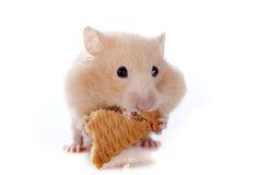 Comendo o hamster Imagem de Stock