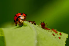Comendo o inseto Foto de Stock Royalty Free