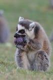 Comendo o lemur fotografia de stock royalty free