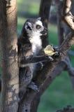 Comendo o lemur imagem de stock