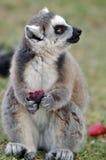 Comendo o lemur fotos de stock