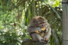 Comendo o macaco Foto de Stock Royalty Free