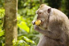 Comendo o macaco Imagem de Stock