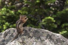 Comendo o perfil do esquilo Fotos de Stock Royalty Free