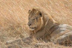 Comendo o retrato no Masai mara Imagem de Stock Royalty Free