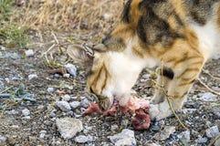 Comendo os gatos dos gatos que comem a carne Fotos de Stock Royalty Free