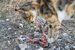 Comendo os gatos dos gatos que comem a carne Imagem de Stock Royalty Free