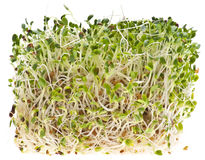 Comendo Sprouts de alfalfa saudáveis Fotografia de Stock