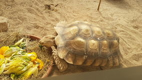 Comendo a tartaruga em um jardim zoológico fotografia de stock