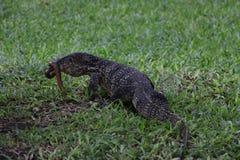 Comendo uma serpente Fotos de Stock Royalty Free