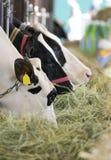 Comendo vacas imagem de stock royalty free