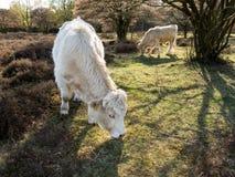 Comendo vacas do charolês, Holanda Fotos de Stock
